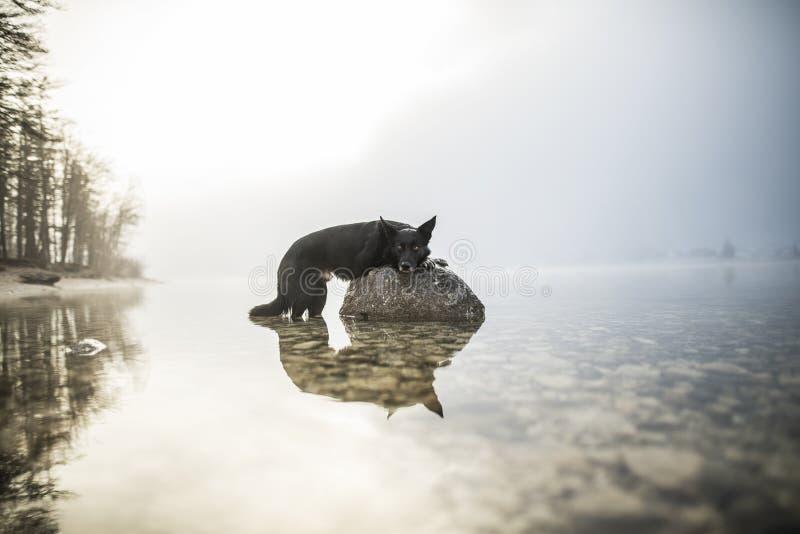 博德牧羊犬在一个岩石说谎在湖 在令人惊讶的风景的美丽的狗 图库摄影
