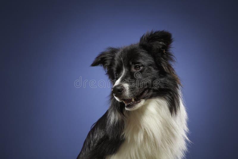 博德牧羊犬在工作室 免版税库存照片