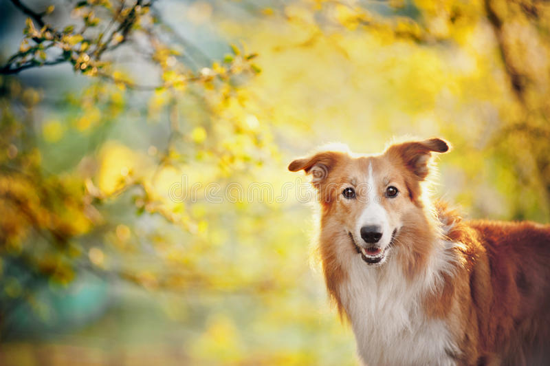 在阳光背景的博德牧羊犬画象 库存图片