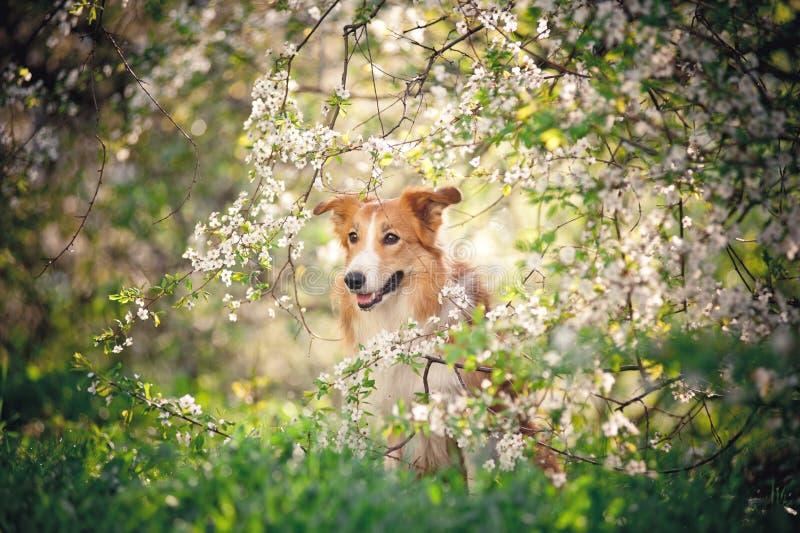 博德牧羊犬狗画象在春天 免版税库存图片