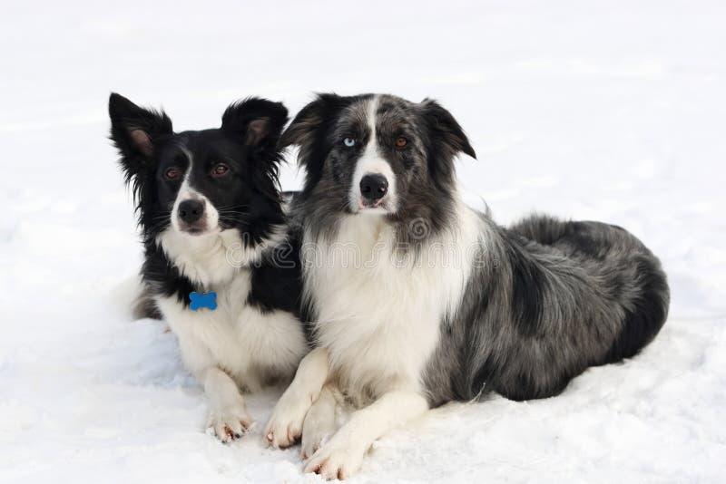 博德牧羊犬夫妇 库存图片
