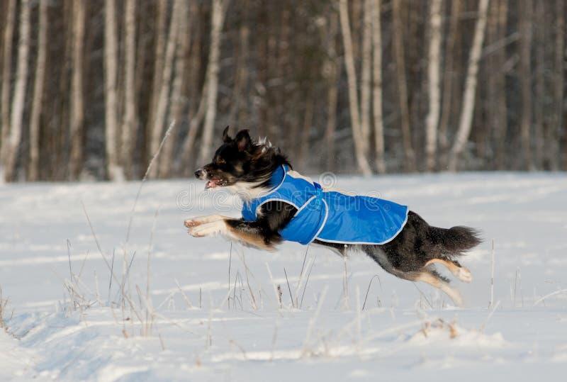 博德牧羊犬奔跑 免版税库存照片