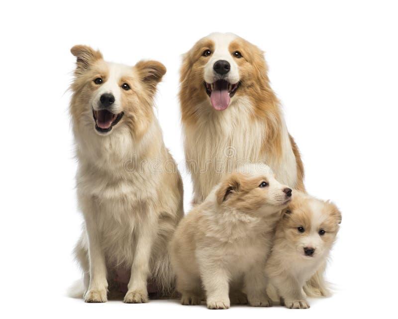 博德牧羊犬家庭、父亲、母亲和小狗,坐 免版税库存图片