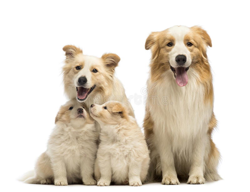 博德牧羊犬家庭、父亲、母亲和小狗,坐 免版税库存照片