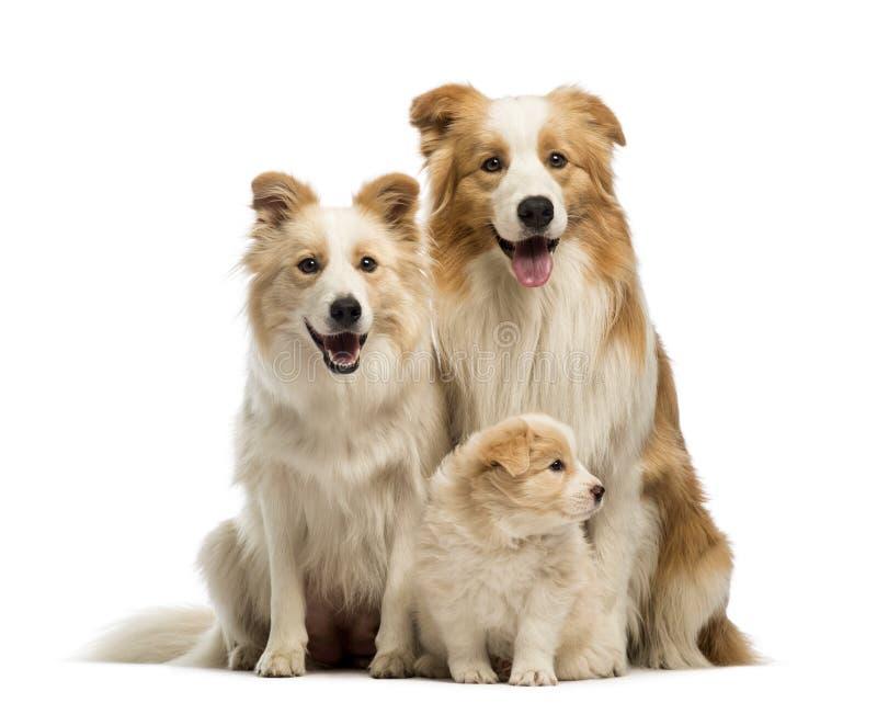 博德牧羊犬家庭、父亲、母亲和小狗,坐 免版税图库摄影
