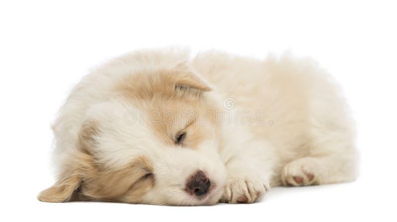 博德牧羊犬小狗, 6个星期年纪,说谎和睡觉 免版税库存图片