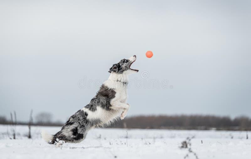 博德牧羊犬狗在多雪的a冬日 免版税库存图片