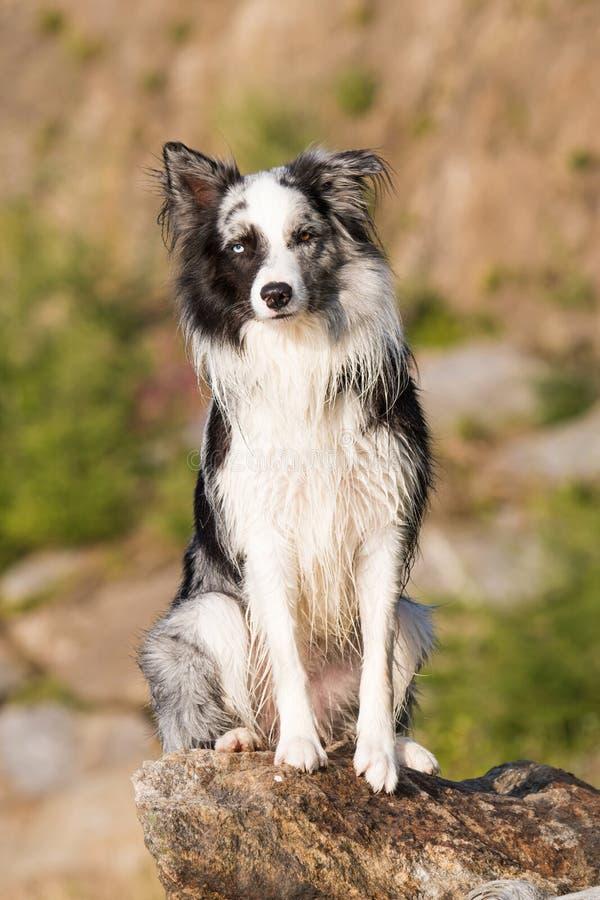 博德牧羊犬狗坐岩石在湖 库存照片