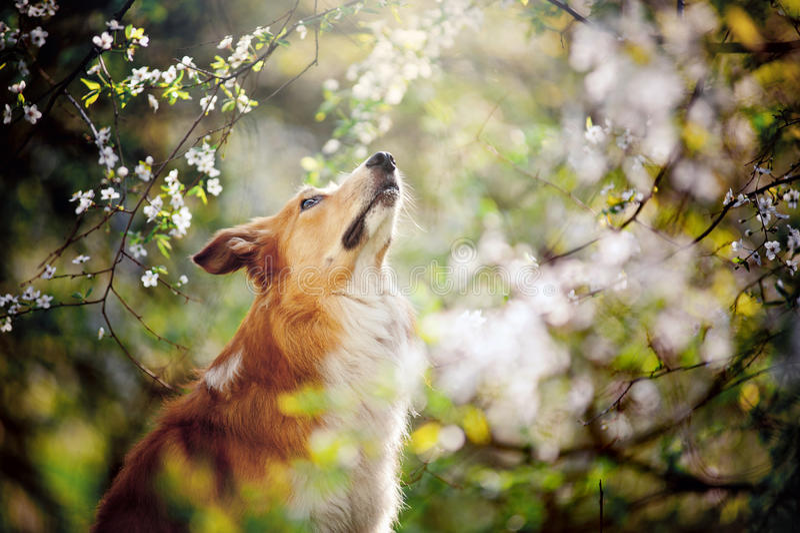 博德牧羊犬狗画象在春天查寻 库存图片