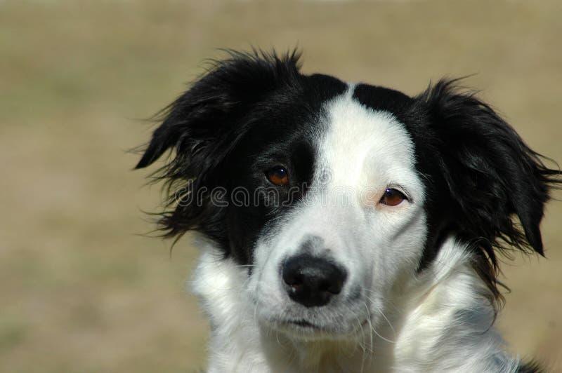 博德牧羊犬狗 库存照片