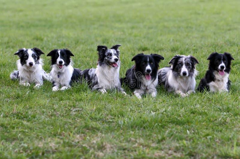博德牧羊犬系列 免版税库存照片