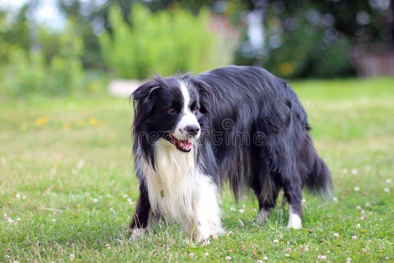 博德牧羊犬纵向 狗在草站立在公园 免版税库存图片