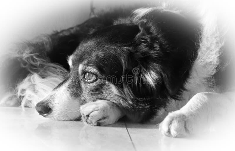博德牧羊犬苏格兰护羊狗 免版税图库摄影