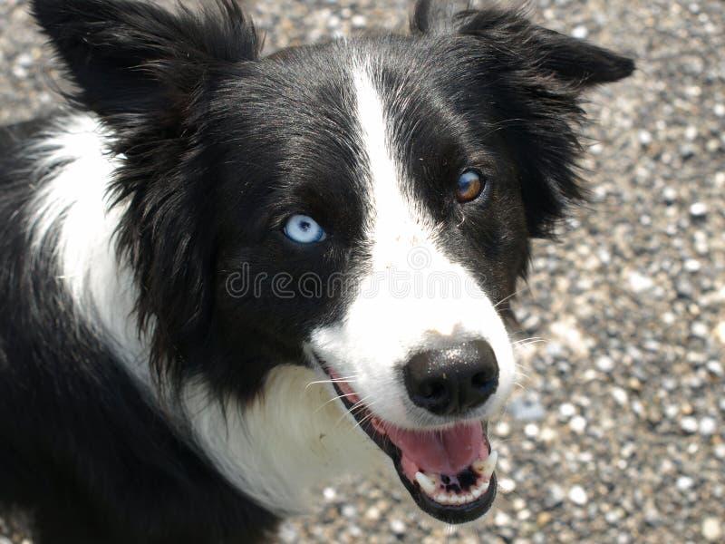 博德牧羊犬颜色另外狗眼睛 免版税库存照片