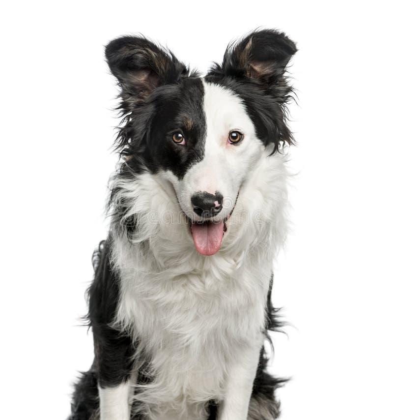博德牧羊犬, 9个月特写镜头,隔绝在白色 库存照片