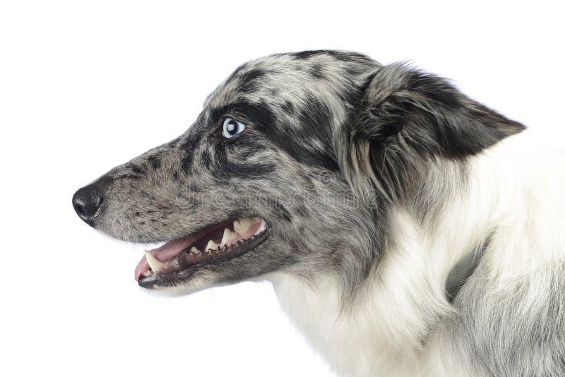博德牧羊犬画象在一个白色照片演播室 库存图片