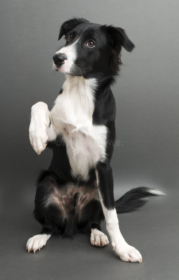 Download 博德牧羊犬 库存照片. 图片 包括有 国内, 婴孩, 宠物, 纯血统, 突出, 护羊狗, 背包, 逗人喜爱 - 15679154