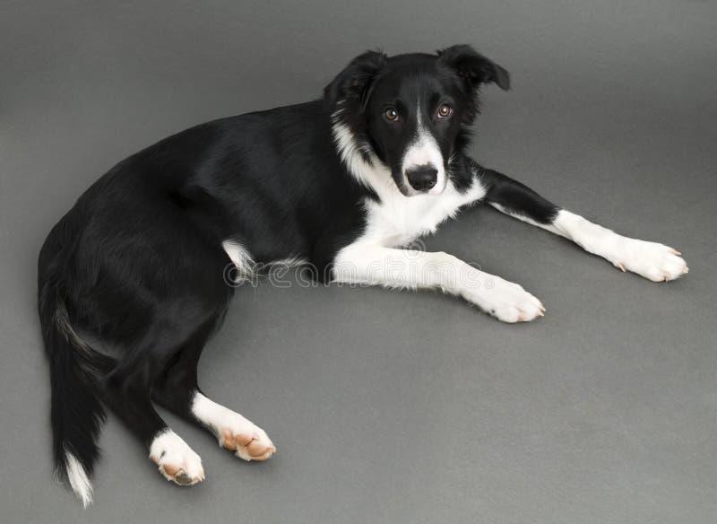 Download 博德牧羊犬 库存照片. 图片 包括有 似犬, 查出, 敌意, 服从, 纯血统, 家谱, 查找, 大牧羊犬 - 15679170