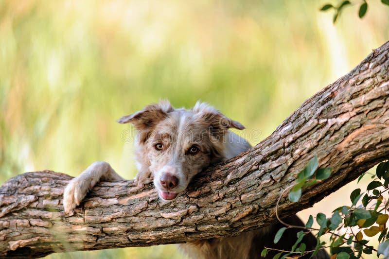 博德牧羊犬 免版税库存照片