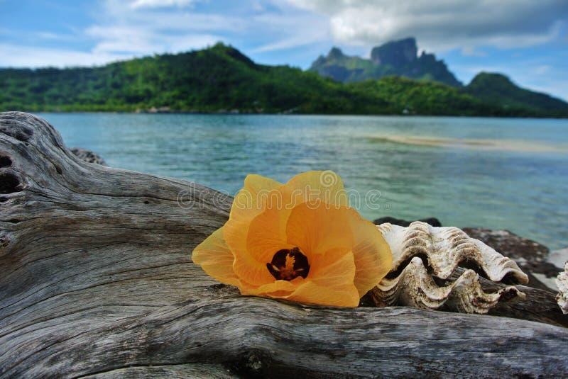 博拉博拉岛、花和贝壳在漂流木头 免版税库存照片