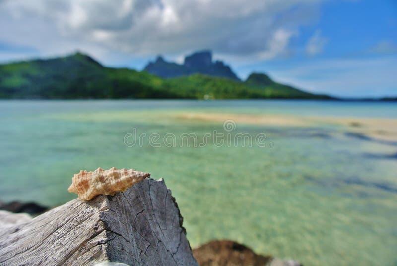 博拉博拉岛,在漂流木头的贝壳 库存图片