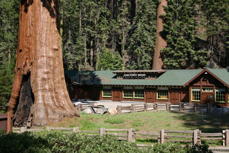 博物馆美国加州红杉 免版税库存照片