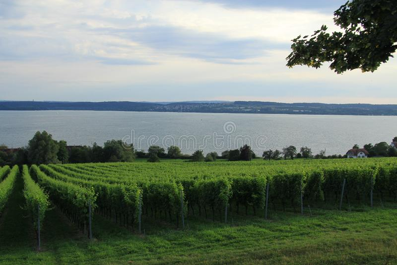 博登湖岸的葡萄园  免版税库存图片