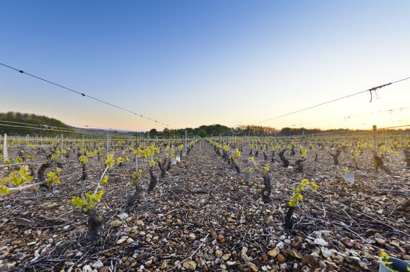 博若莱红葡萄酒在黎明,伯根地,法国年轻葡萄园  免版税库存图片