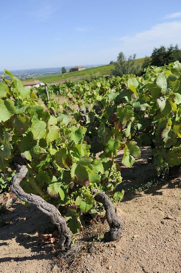 博若莱红葡萄酒横向 图库摄影