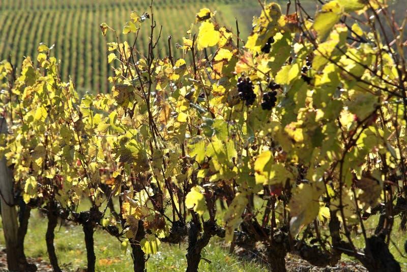 博若莱红葡萄酒法国葡萄园 免版税库存图片