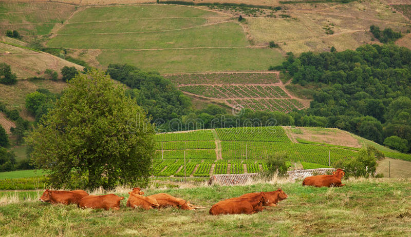 博若莱红葡萄酒葡萄园,法国 免版税库存图片