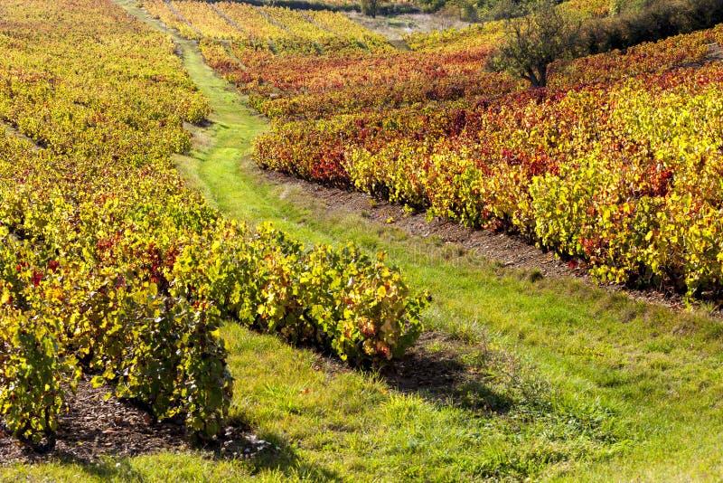 博若莱红葡萄酒葡萄园  图库摄影