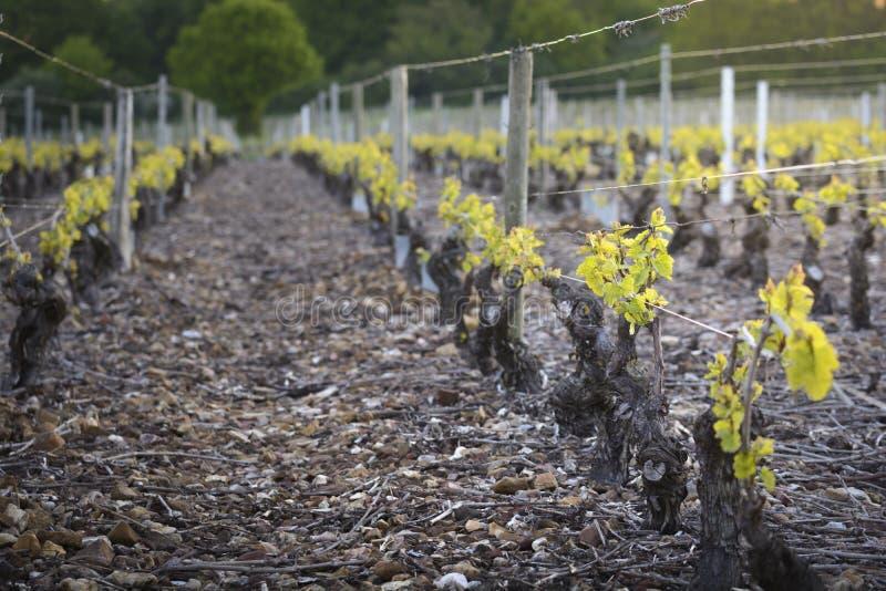 博若莱红葡萄酒,伯根地,法国年轻葡萄园  免版税库存图片
