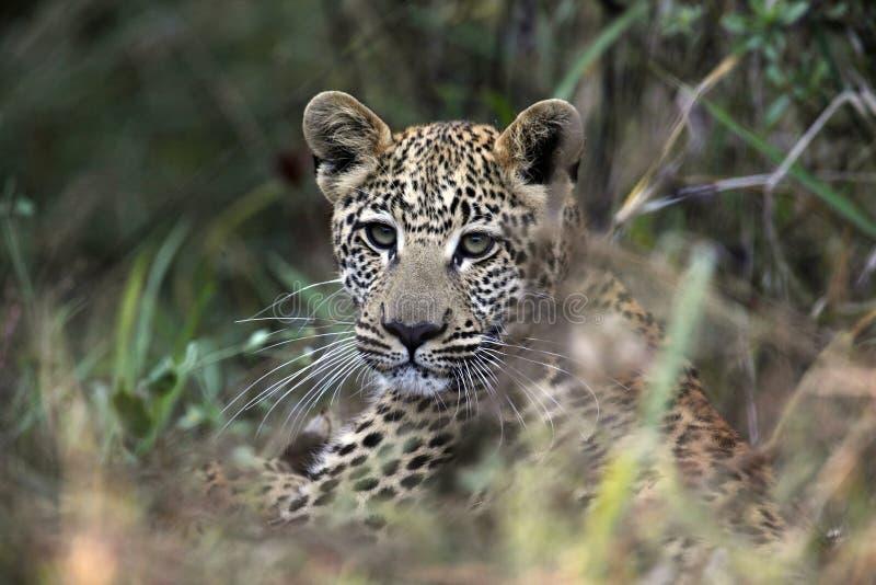 博茨瓦纳崽豹子年轻人 免版税库存照片