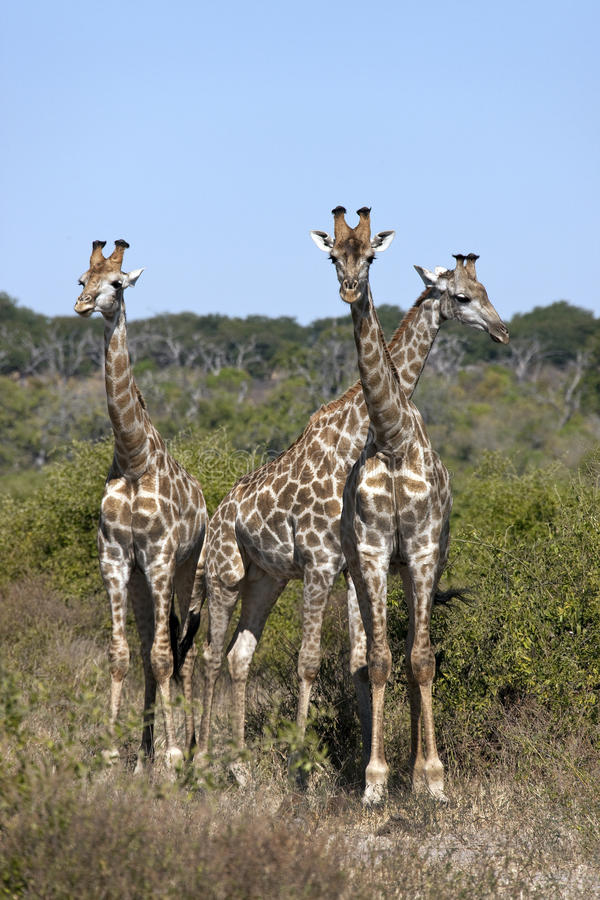 博茨瓦纳长颈鹿三年轻人 库存图片