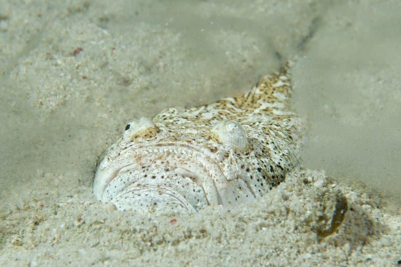 占星师教士鱼,当掩藏在沙子在菲律宾时 图库摄影