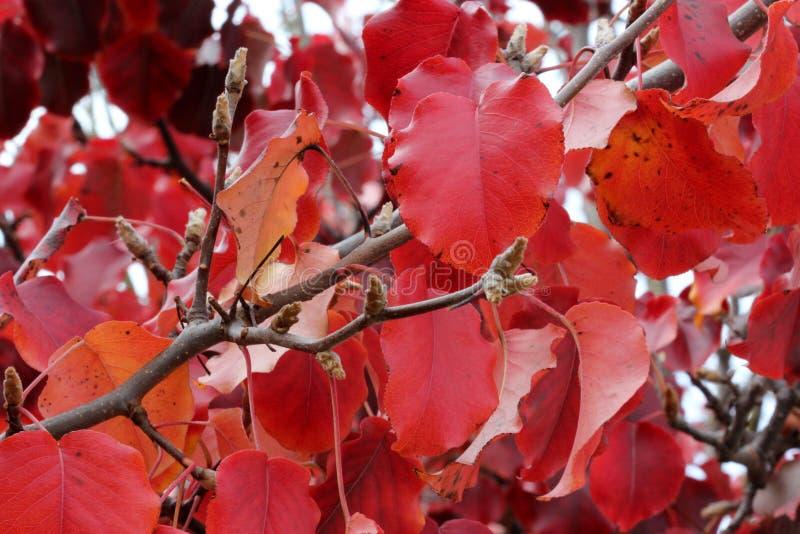 卡勒里梨, Pyrus calleryana金黄火焰的秋天颜色 免版税库存图片
