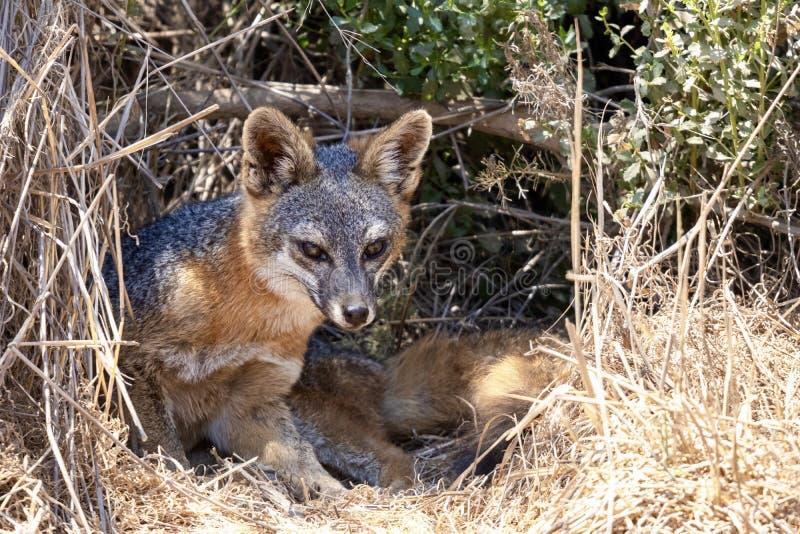 卡塔利娜岛屿灰狐 免版税图库摄影
