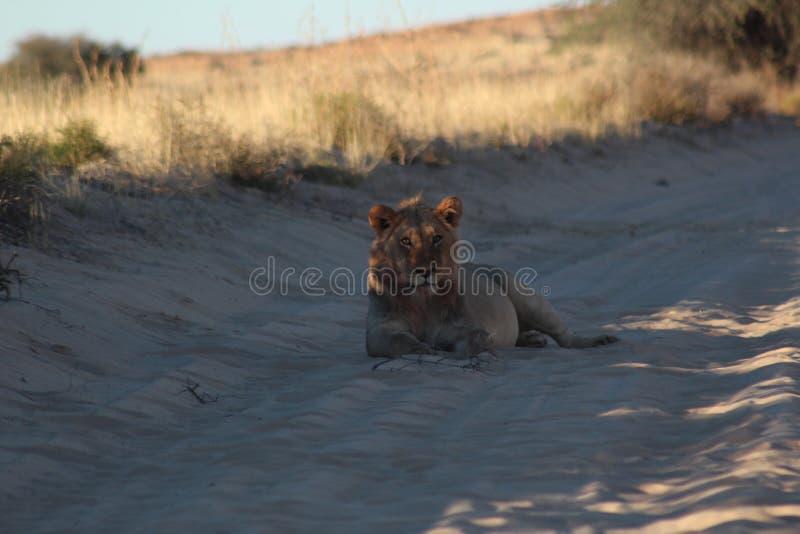 卡拉哈里狮子男性-在杀害以后 免版税库存照片