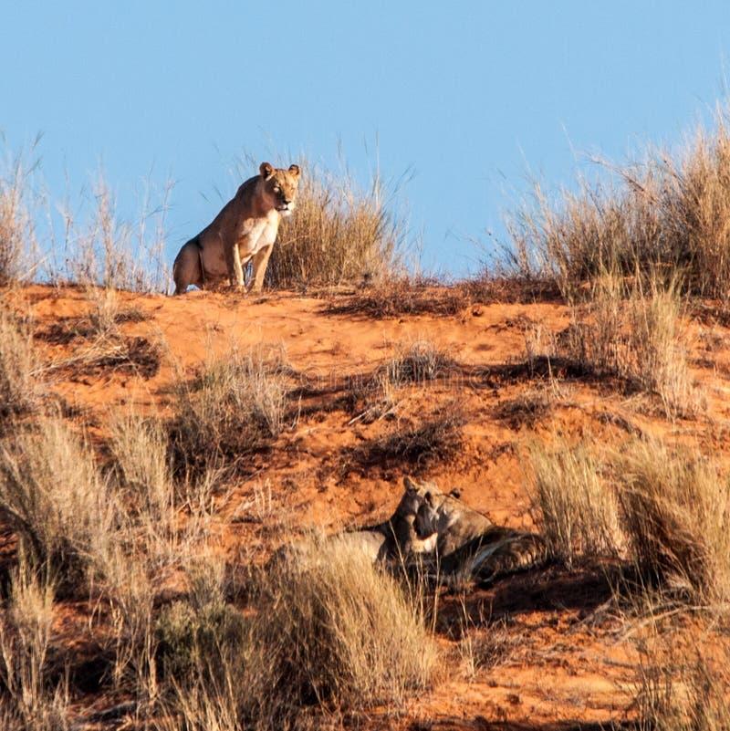 卡拉哈里雌狮 库存照片