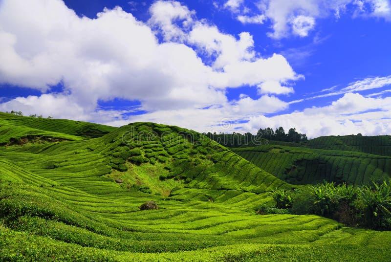 卡梅伦高种植园茶 免版税库存照片