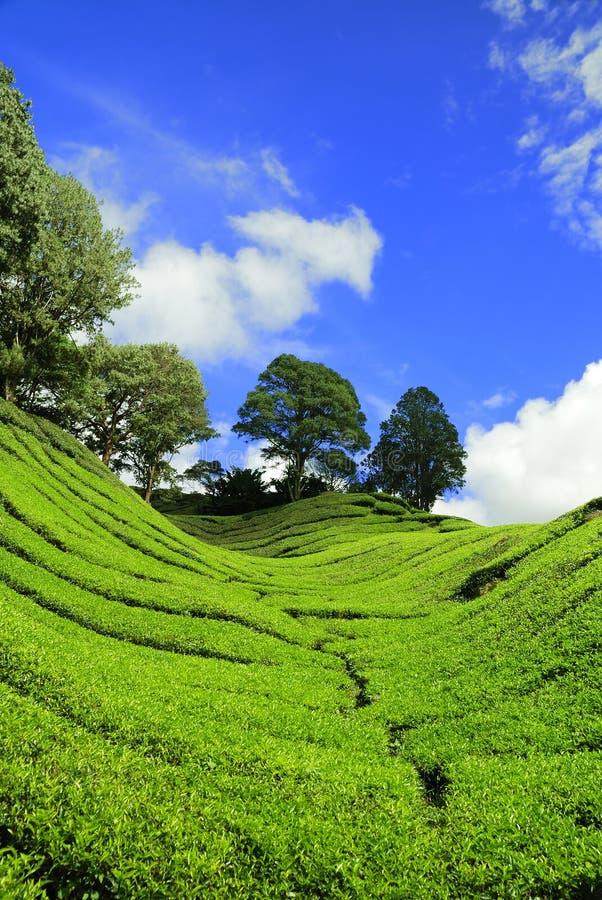 卡梅伦高种植园茶 免版税图库摄影