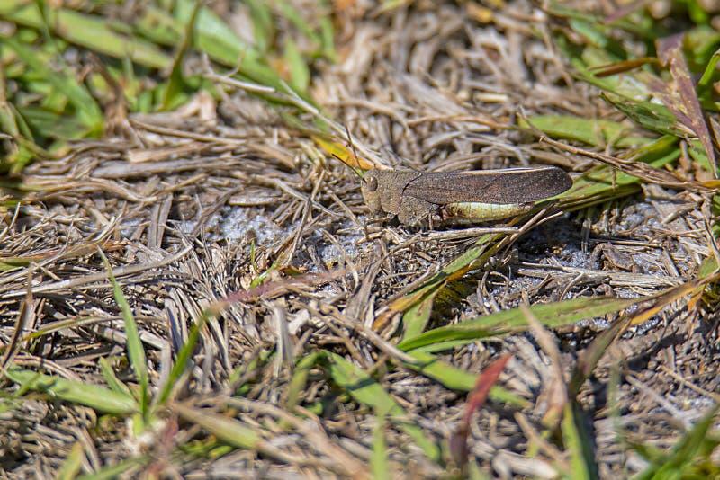卡罗来纳州蝗虫,蚂蚱 库存照片