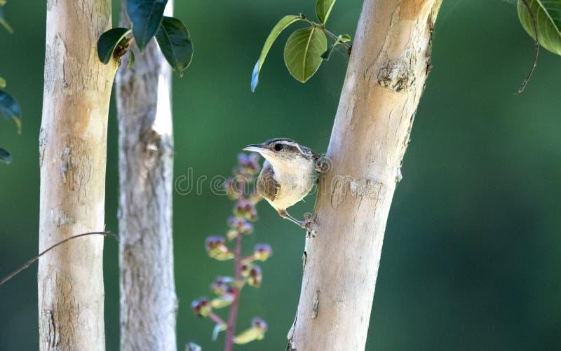 卡罗来纳州鹪鹩鸟,克拉克县GA美国 免版税图库摄影