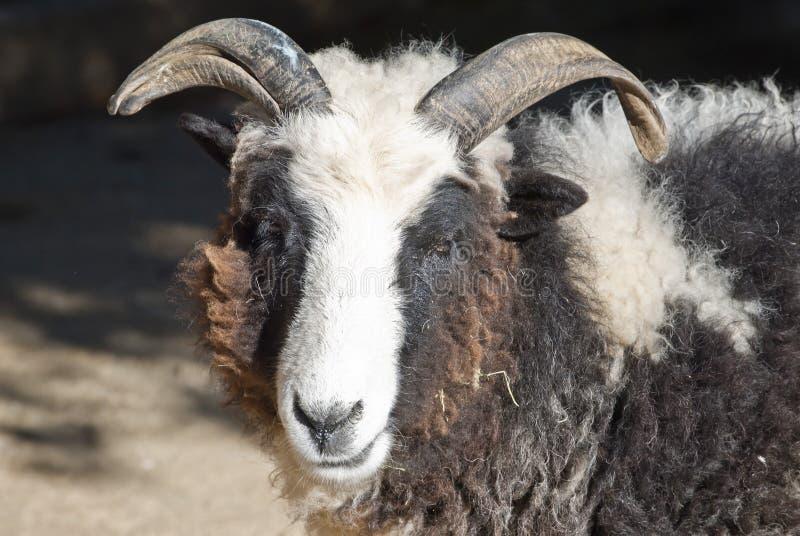卡麦隆山羊 库存图片