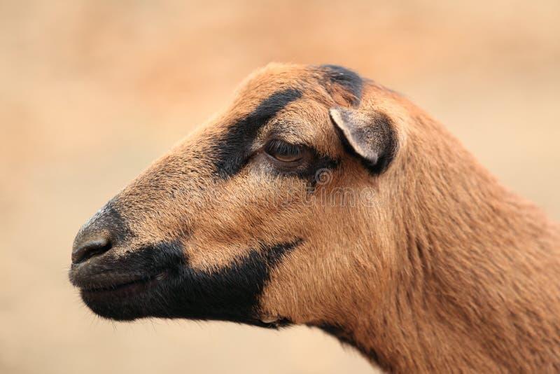 卡麦隆绵羊 免版税图库摄影