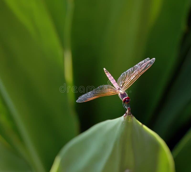 卢旺达的蜻蜓 免版税库存图片