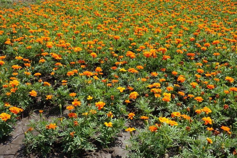 卧具花-在绽放的Tagetes patula在夏天 免版税库存图片