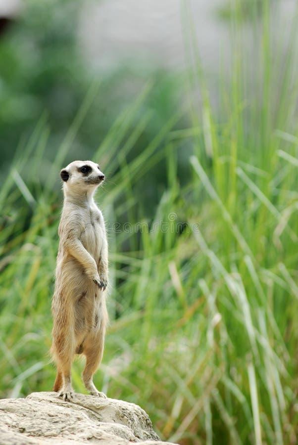 卫兵meerkat 免版税库存图片