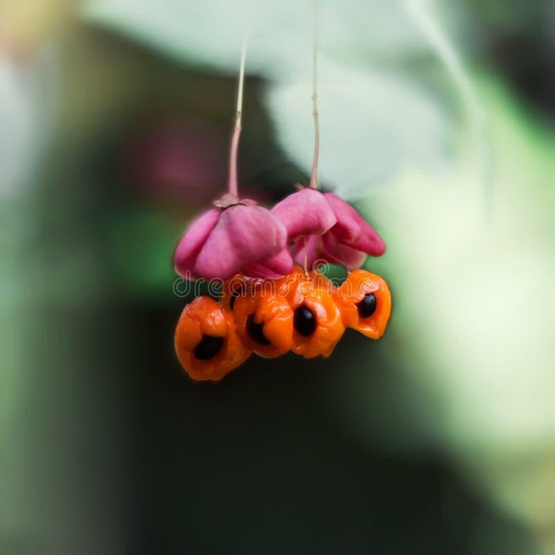 卫矛,大叶黄杨,在绿色背景的嗬 明亮的桃红色花用橙色果子和黑种子 r 库存图片